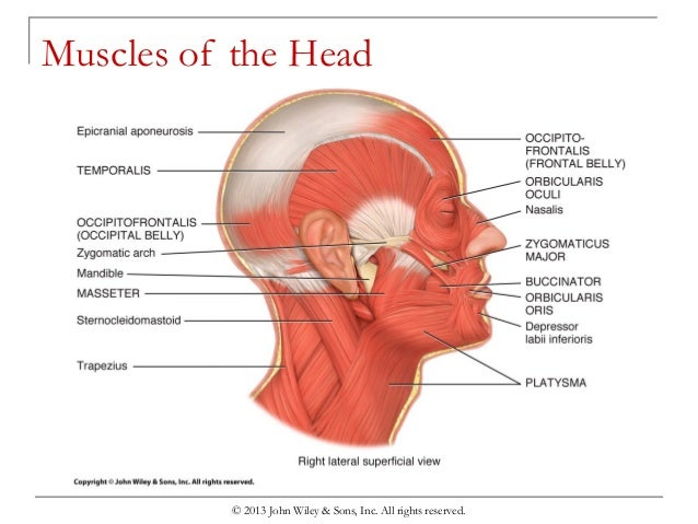 Muscular System Head Diagram - Block And Schematic Diagrams •