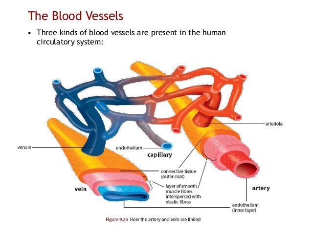 3 kinds of blood vessels