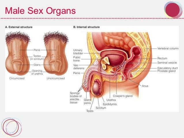 Transgender sexual organs