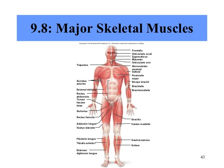 Chapter 9 Muscular System