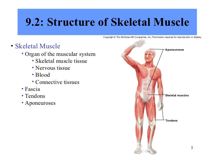 describe muscular system – citybeauty, Muscles
