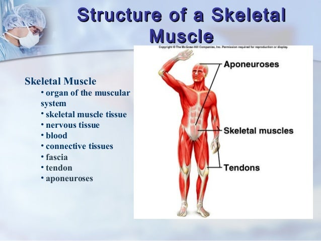 chapter 9 muscular system, Muscles