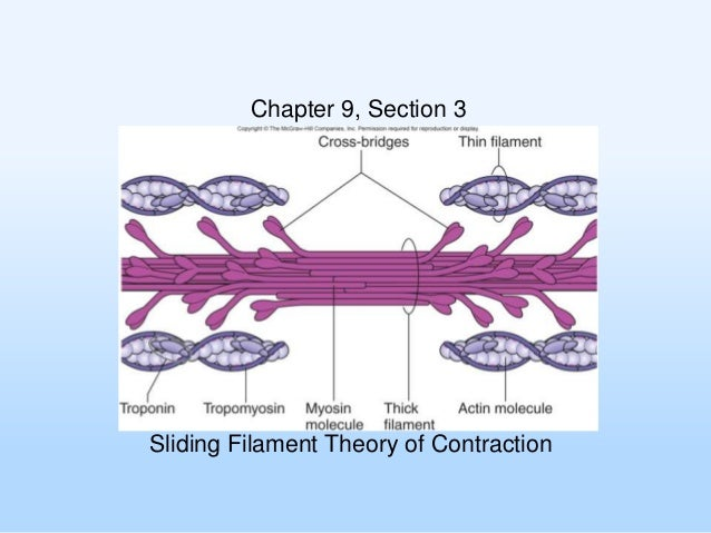 Chapter 9, Section 3  Sliding Filament Theory of Contraction