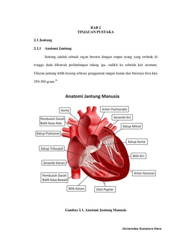 BAB 2 TINJAUAN PUSTAKA 2.1 Jantung 2.1.1 Anatomi Jantung Jantung adalah sebuah organ berotot dengan empat ruang yang terle...