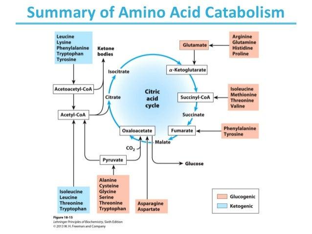 Chapters 18 - Amino acid Oxidation , production of urea ...