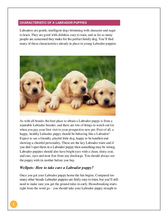 Wellpets Animal Hospital - Characteristic of a Labrador Puppies