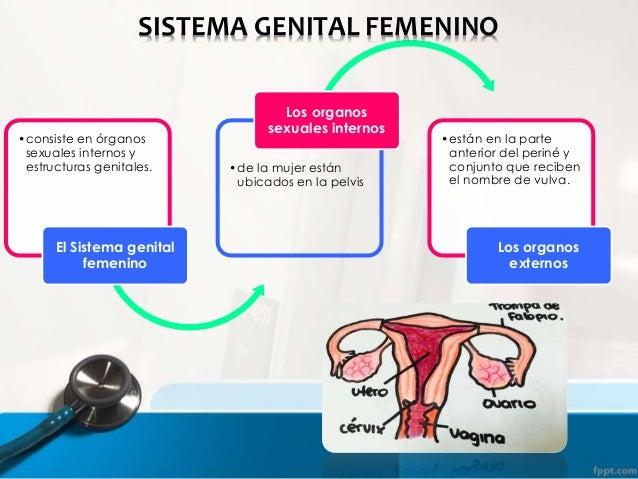 Sistema Genital Femenino  Slide 2