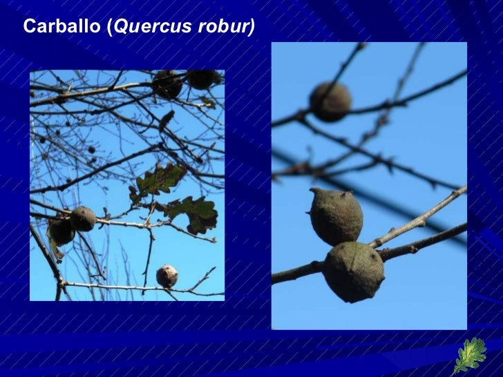 Carballo ( Quercus robur)