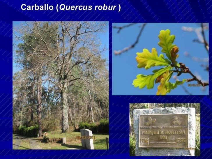 Carballo ( Quercus robur  )