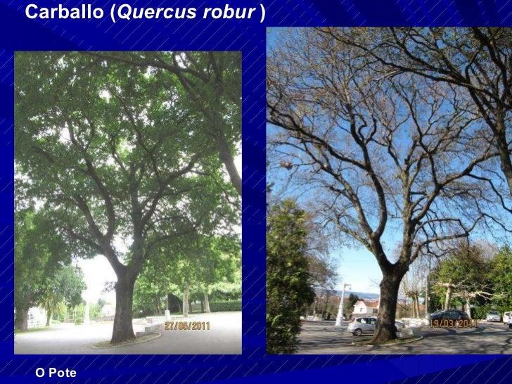 Carballo ( Quercus robur  ) O Pote
