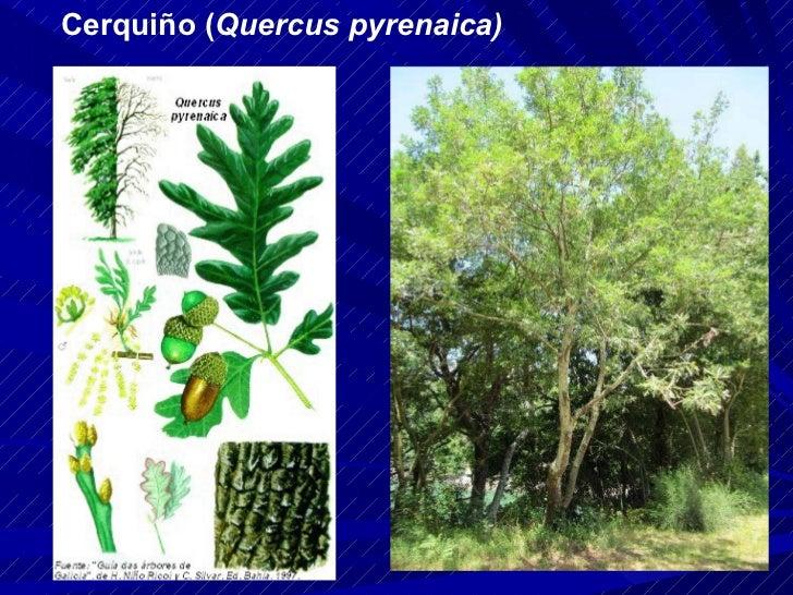 Cerquiño ( Quercus pyrenaica)