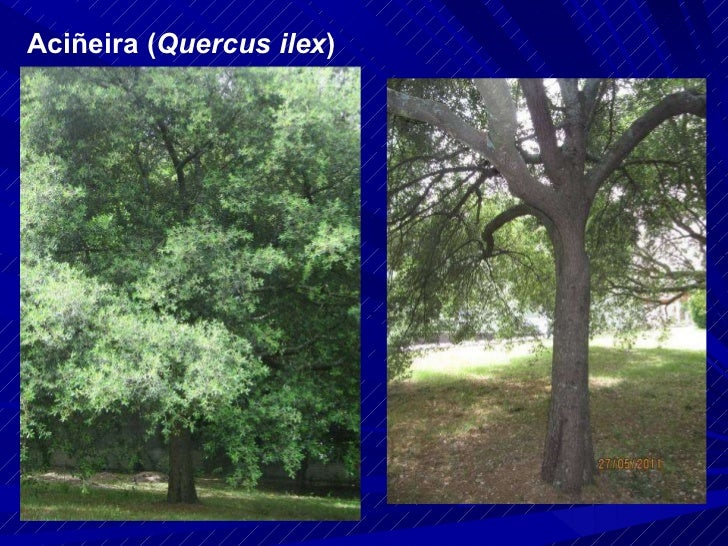 Aciñeira ( Quercus ilex )