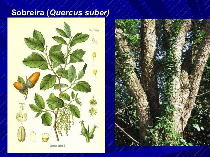 Sobreira ( Quercus suber)