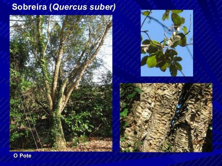 Sobreira ( Quercus suber) O Pote