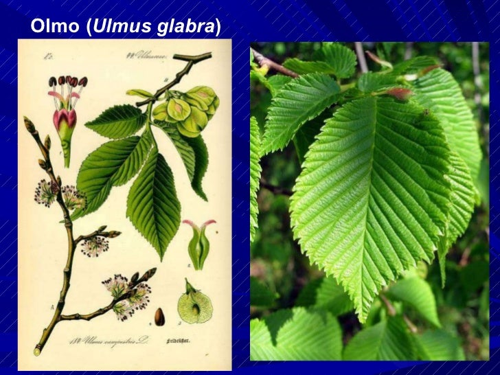Olmo ( Ulmus glabra )