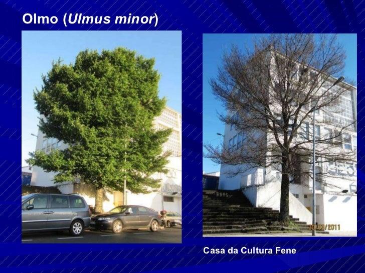 Olmo ( Ulmus minor ) Casa da Cultura Fene