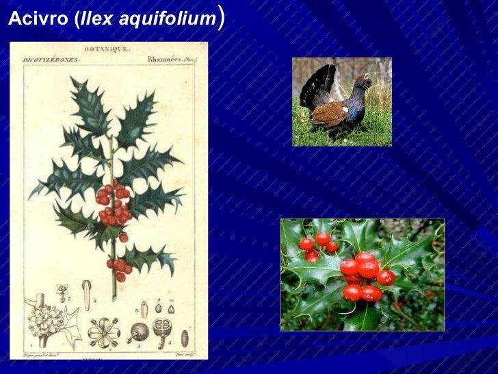 Acivro ( Ilex aquifolium )