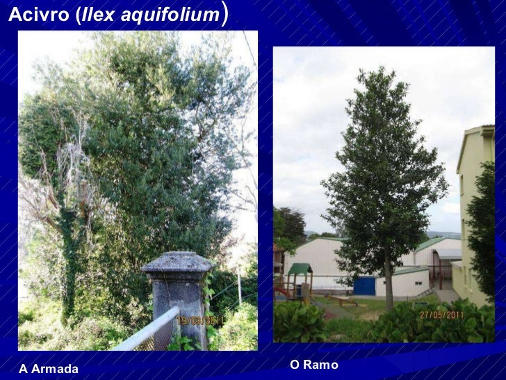 Acivro ( Ilex aquifolium ) A Armada O Ramo