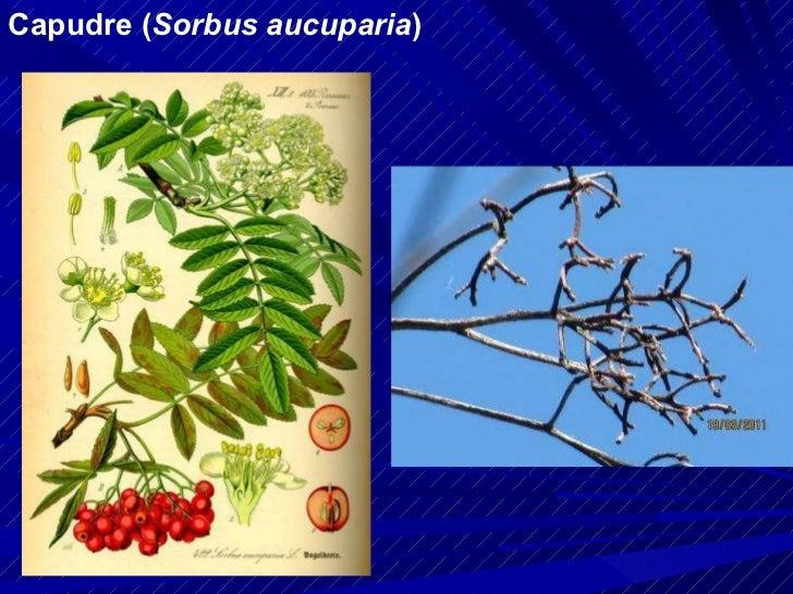 Capudre ( Sorbus aucuparia )