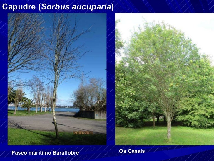 Capudre ( Sorbus aucuparia ) Paseo marítimo Barallobre Os Casais