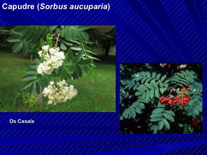 Capudre ( Sorbus aucuparia ) Os Casais
