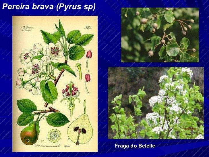 Pereira brava (Pyrus sp) Fraga do Belelle