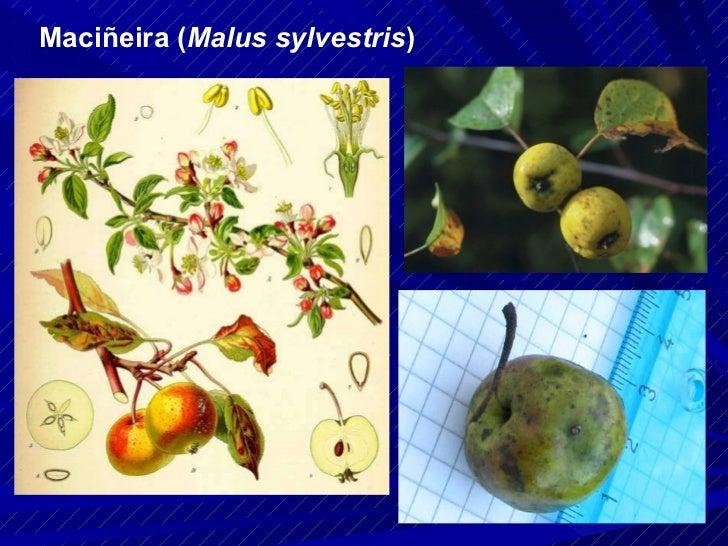 Maciñeira ( Malus sylvestris )