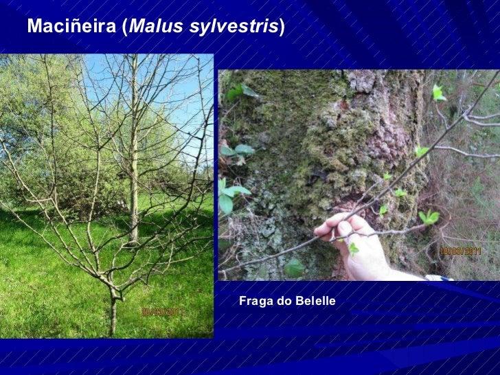 Maciñeira ( Malus sylvestris ) Fraga do Belelle