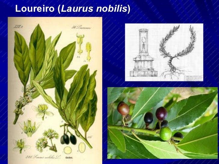 Loureiro ( Laurus nobilis )