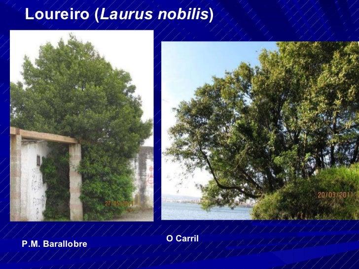 Loureiro ( Laurus nobilis ) P.M. Barallobre O Carril