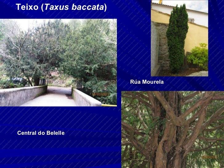 Teixo ( Taxus baccata ) Central do Belelle Rúa Mourela