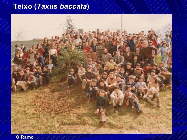 Teixo ( Taxus baccata ) O Ramo