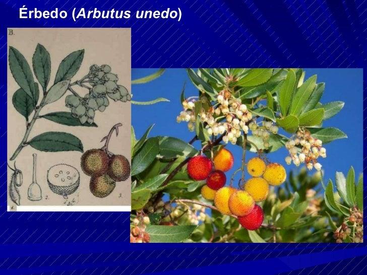 Érbedo ( Arbutus unedo )