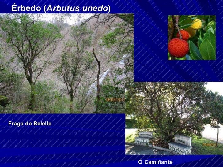Érbedo ( Arbutus unedo ) Fraga do Belelle O Camiñante