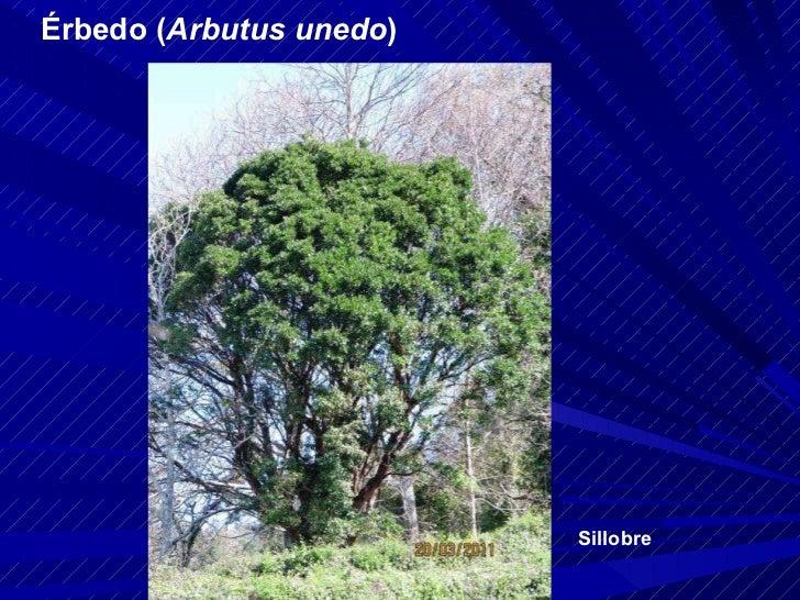Érbedo ( Arbutus unedo ) Sillobre