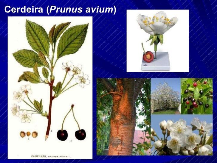 Cerdeira ( Prunus avium )