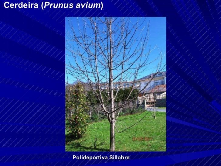 Cerdeira ( Prunus avium ) Polideportiva Sillobre