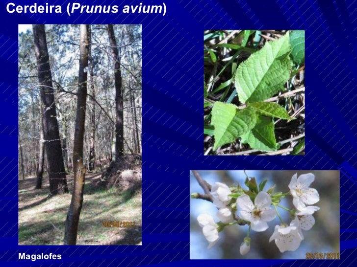 Cerdeira ( Prunus avium ) Magalofes