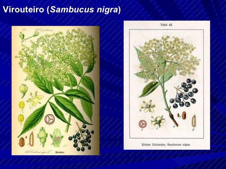 Virouteiro ( Sambucus nigra )