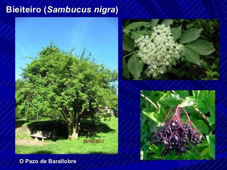 Bieiteiro ( Sambucus nigra ) O Pazo de Barallobre