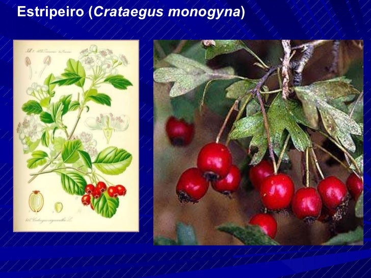 Estripeiro ( Crataegus monogyna )