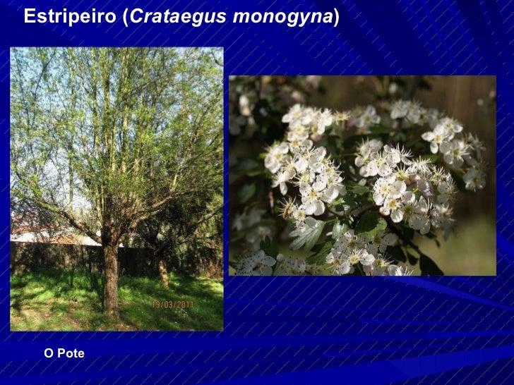 Estripeiro ( Crataegus monogyna ) O Pote