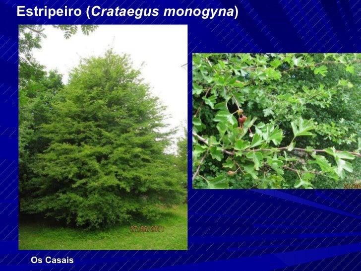 Estripeiro ( Crataegus monogyna ) Os Casais