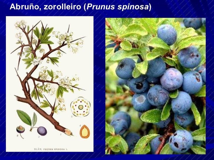 Abruño, zorolleiro ( Prunus spinosa )