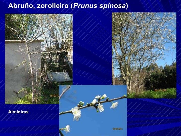 Abruño, zorolleiro ( Prunus spinosa ) Almieiras
