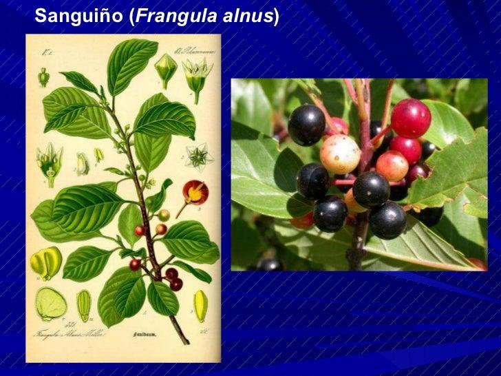 Sanguiño ( Frangula alnus )