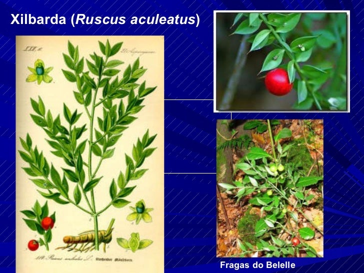 Xilbarda ( Ruscus aculeatus ) Fragas do Belelle