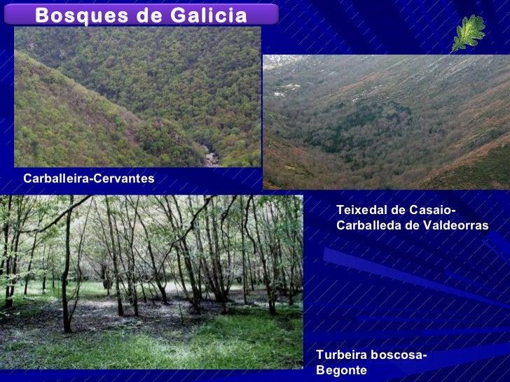 Turbeira boscosa-Begonte Carballeira-Cervantes Teixedal de Casaio-Carballeda de Valdeorras Bosques de Galicia