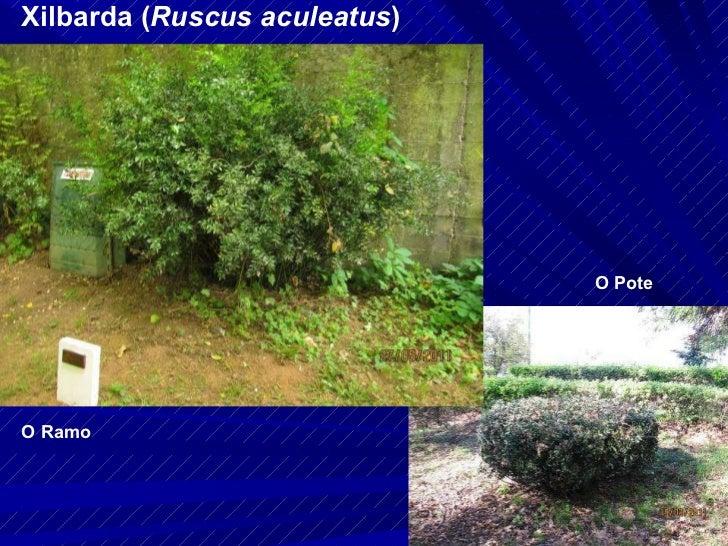Xilbarda ( Ruscus aculeatus ) O Ramo O Pote