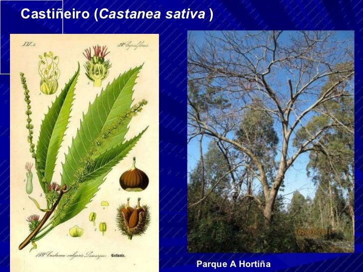 Castiñeiro ( Castanea sativa  ) Parque A Hortiña